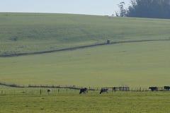 母牛在平安的牧场地 免版税图库摄影