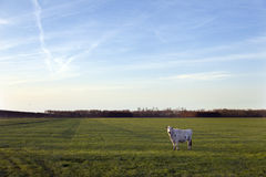 母牛在开拓地purmer草甸在purmerend附近的在阿姆斯特丹北部 库存图片