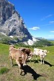 母牛在接近Ciampinoi在丛林地带上的缆车上面的一个草甸,与Sassolungo山和Sciliar链子在bac中 库存图片