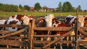 母牛在日落的牧场地 库存照片