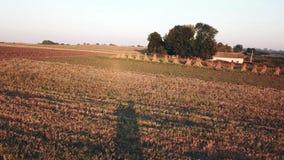 母牛在日落的草甸 飞行在草甸 股票视频