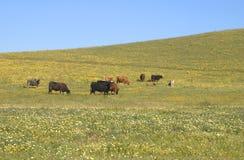 母牛在春天牧场地 库存图片