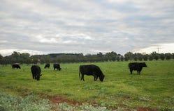 母牛在暮色天空下 图库摄影