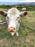 母牛在有拨开的舌头的小牧场 免版税库存图片