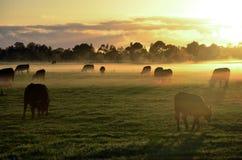 母牛在有薄雾的早晨草甸 免版税库存图片