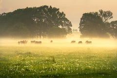 母牛在有雾的早晨 免版税库存照片