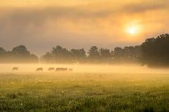 母牛在有雾的早晨 库存图片