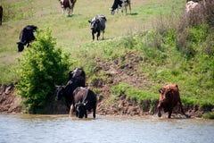 母牛在村庄来喝从湖的水 免版税库存照片