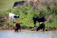 母牛在村庄来喝从湖的水 图库摄影