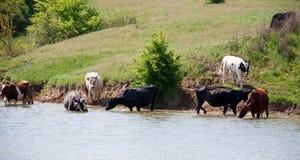 母牛在村庄来喝从湖的水 库存图片