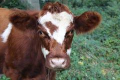 母牛在树木繁茂区 免版税图库摄影