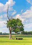 母牛在树荫下 免版税库存图片