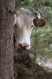 母牛在森林里吃草 库存图片