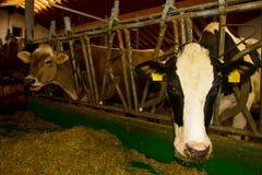 母牛在槽枥 免版税库存图片