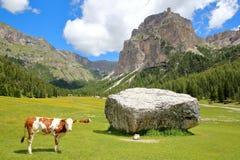 母牛在沿Vallunga谷的一个草甸在与圣徒西尔韦斯特罗教堂在背景中, Val加迪纳的丛林地带上 免版税图库摄影
