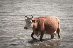 母牛在湖的水中 免版税库存图片