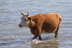 母牛在湖的水中 库存图片