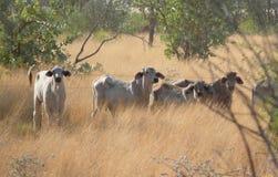 母牛在澳大利亚西部。 库存图片