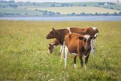 母牛在爱德华王子岛 库存照片
