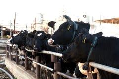 母牛在牛棚 免版税库存图片
