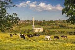 母牛在牛津郡草甸 库存照片