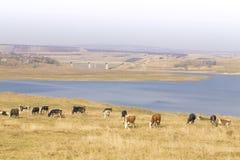 母牛在牧场地吃草由河:美好的全景 库存图片