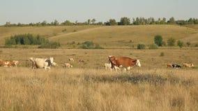 母牛在牧场地吃草 牛奶店企业概念 牛在草甸 生态畜牧的概念 影视素材