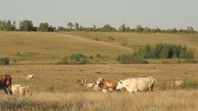 母牛在牧场地吃草 牛奶店企业概念 牛在草甸 生态畜牧的概念 股票视频