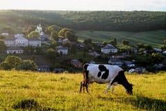 母牛在牧场地在村庄背景的晚上  免版税库存照片