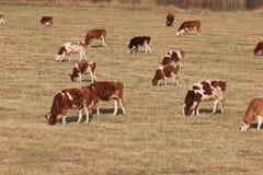 母牛在秋天吃草 免版税库存照片