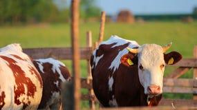 母牛在牧场地畜栏 免版税库存图片
