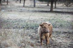 母牛在牧场地 图库摄影