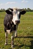 母牛在牧场地 免版税库存照片