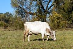 母牛在牧场地 免版税图库摄影