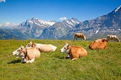 母牛在瑞士阿尔卑斯 图库摄影
