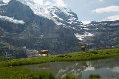 母牛在瑞士阿尔卑斯 库存图片