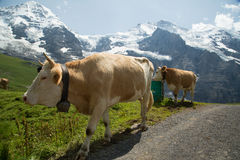 母牛在瑞士阿尔卑斯 库存照片