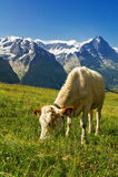 母牛在田园诗高山风景、阿尔卑斯山和乡下在夏天 免版税图库摄影
