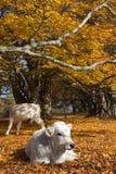 母牛在秋天树下 免版税库存图片