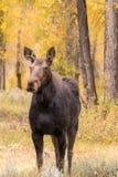 母牛在秋天的Shiras麋 免版税库存照片