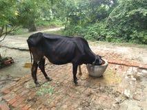 母牛在自然本底中的吃食物 免版税图库摄影