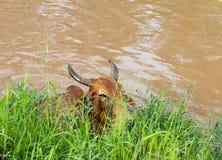 母牛在草下的水中 库存照片