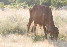 母牛在草甸吃着草 免版税图库摄影