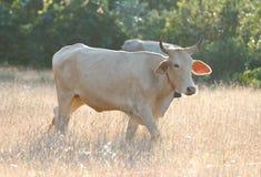 母牛在草甸吃着草 免版税库存照片