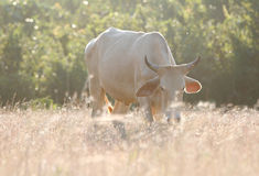 母牛在草甸吃着草 库存照片