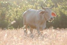 母牛在草甸吃着草 免版税库存图片