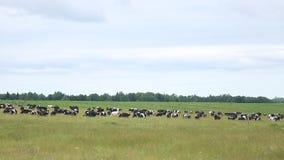 母牛在草甸吃草在夏天 股票录像