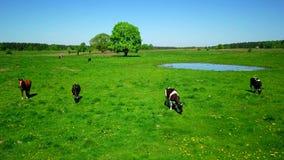 母牛在草甸吃草在池塘附近 股票录像