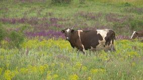 母牛在草甸吃草 影视素材
