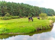 母牛在草甸吃草 图库摄影